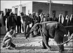 The first elephant in Kuwait for the new zoo 1952